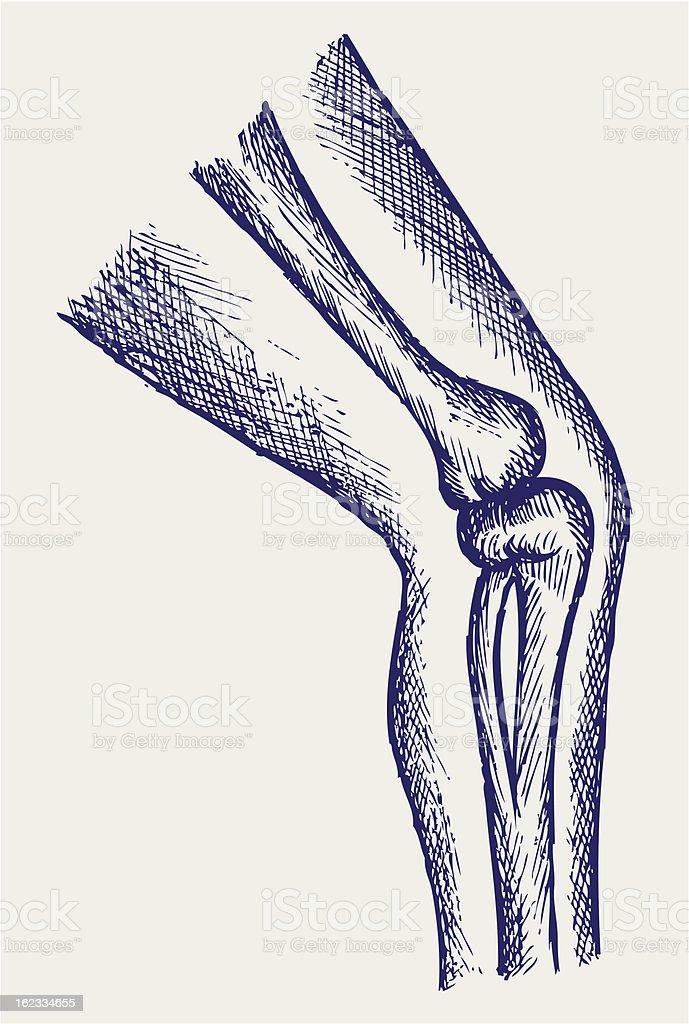 Human leg bones royalty-free stock vector art
