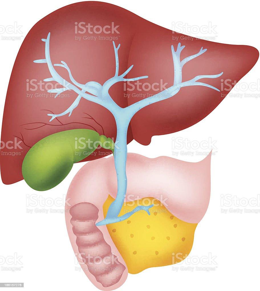 Ilustración de Anatomía De Hígado Humano y más banco de imágenes de ...