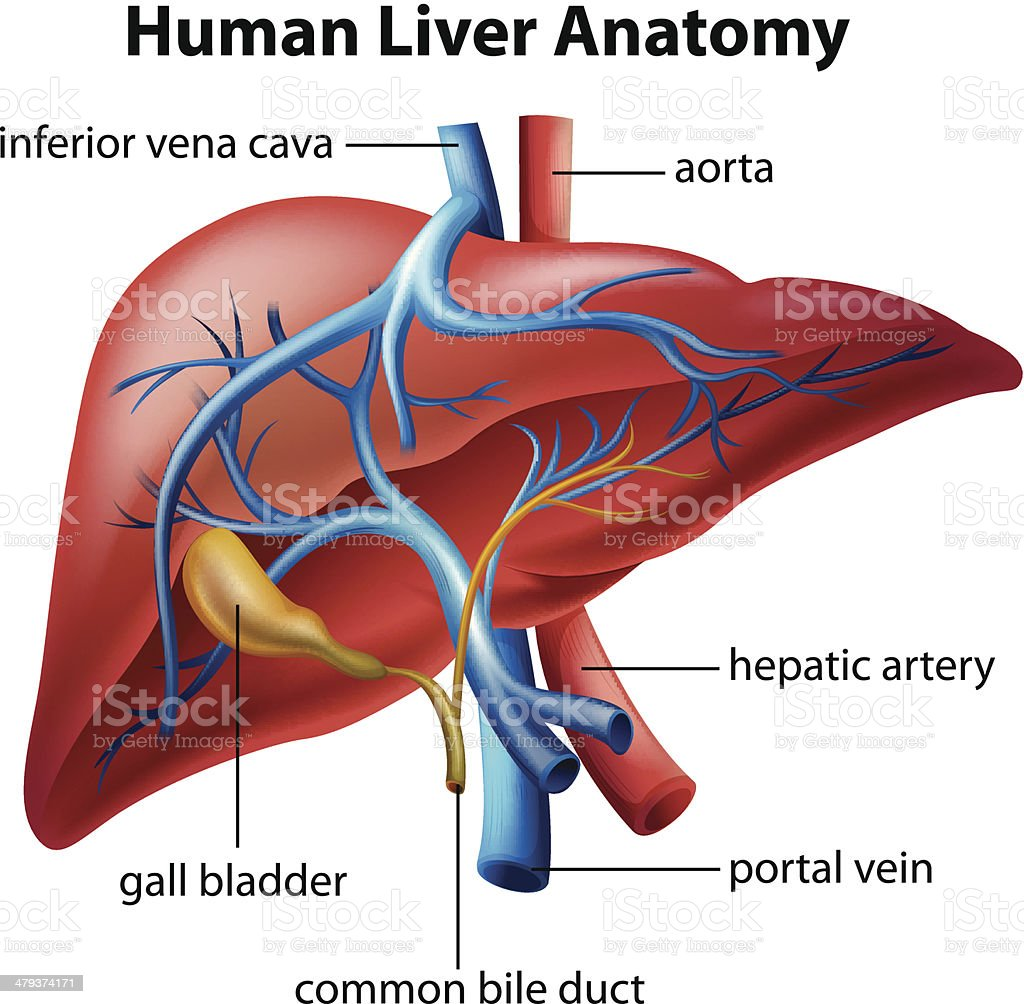 Human Liver Anatomy vector art illustration