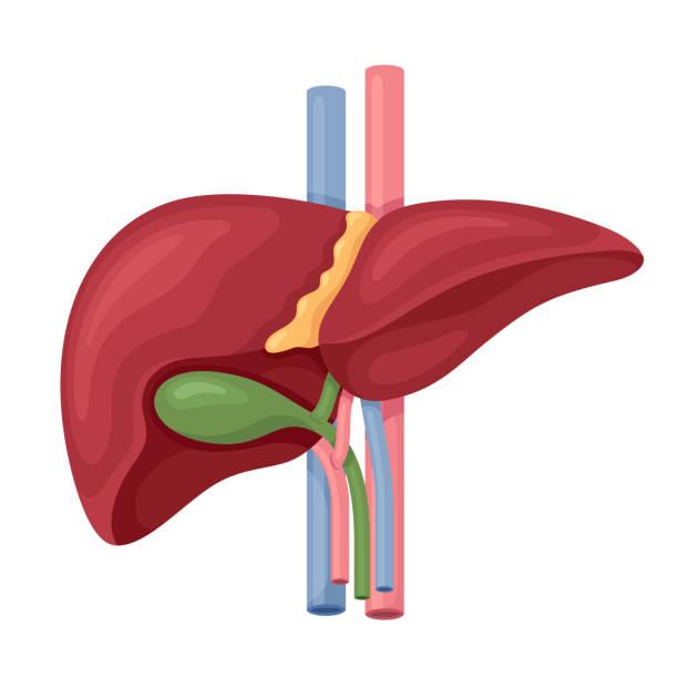 Human Liver Anatomy Vector Human Liver Anatomy Vector bile stock illustrations