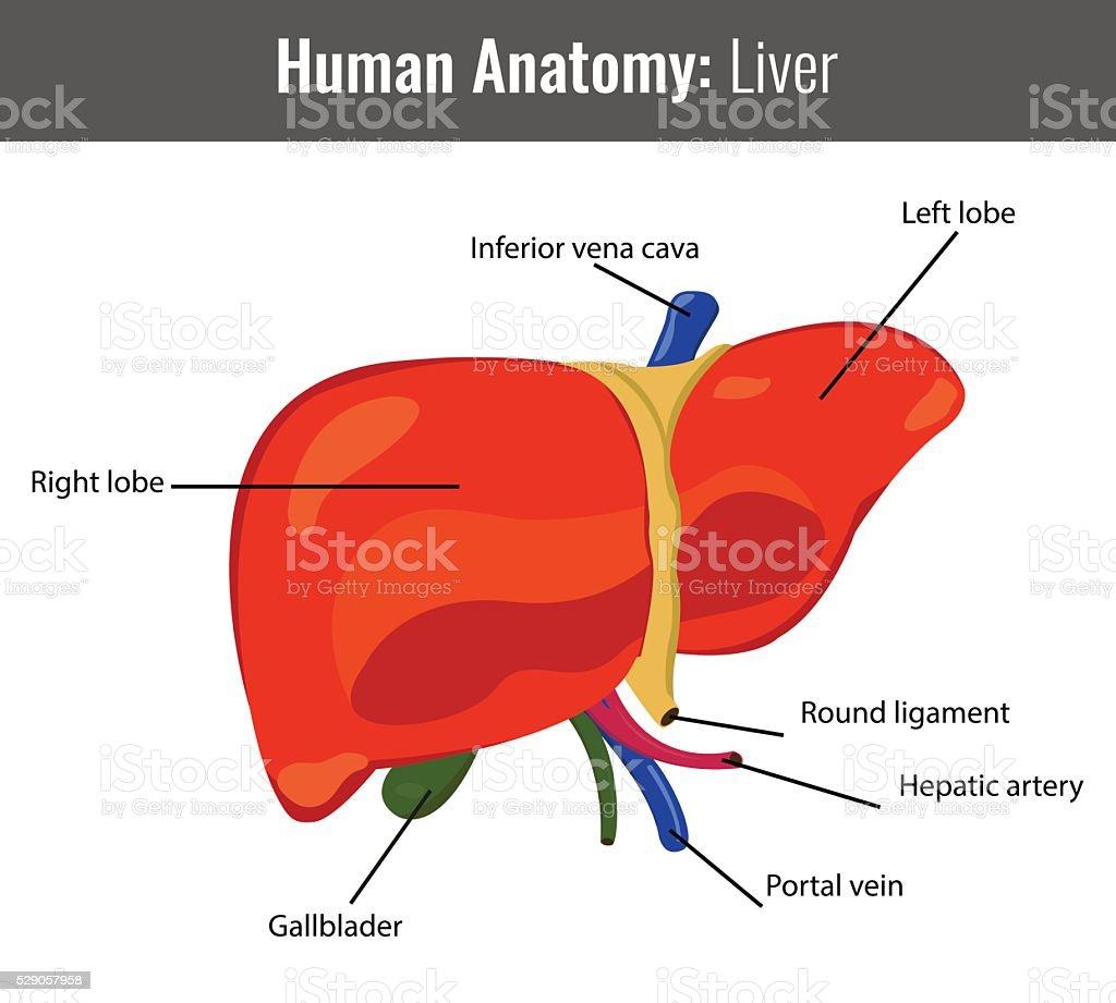 Detaillierte Anatomie Der Menschlichen Leber Vektor Medizinische ...