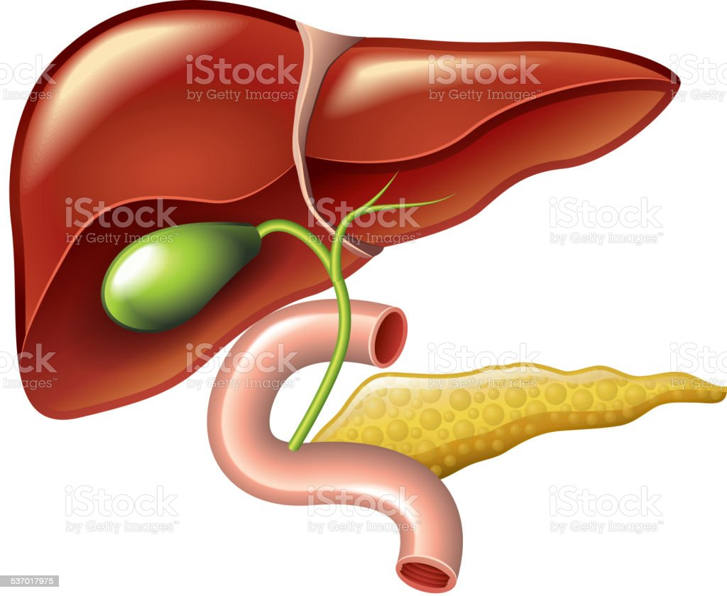 Human liver, gallbladder, pancreas anatomy vector vector art illustration