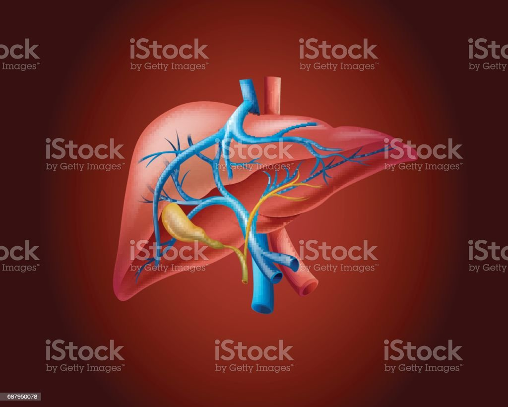 Human liver on red background vector art illustration