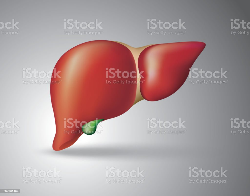 Human liver vector art illustration