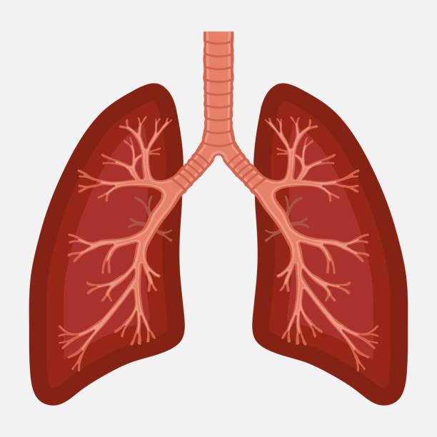 human lung anatomy diagram. illness respiratory cancer human lung anatomy diagram. illness respiratory cancer graphics.respiratory systems. Vector human lung stock illustrations