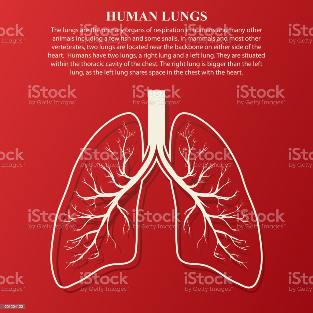 Human Lung Anatomy Illustration Stock Vector Art More Images Of