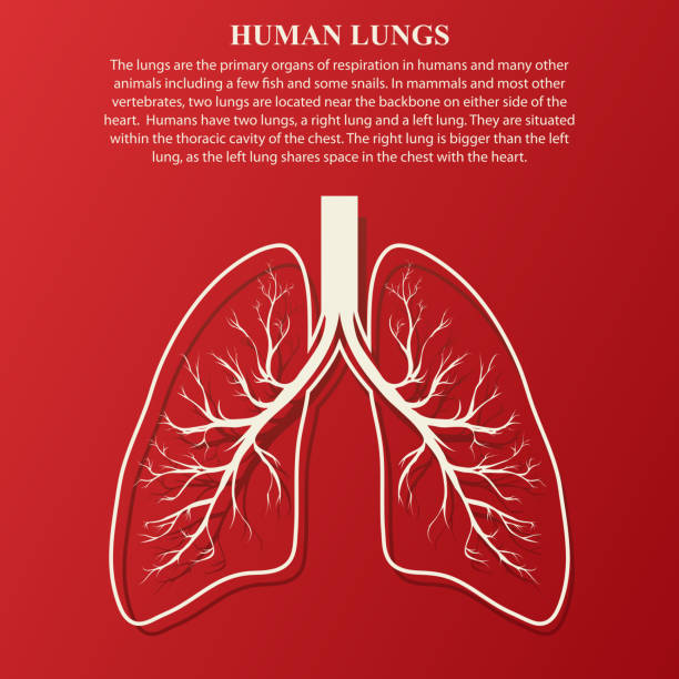 Human Lung anatomy illustration Human Lung anatomy illustration with sample text. Illness respiratory cancer graphics. Vector human lung stock illustrations