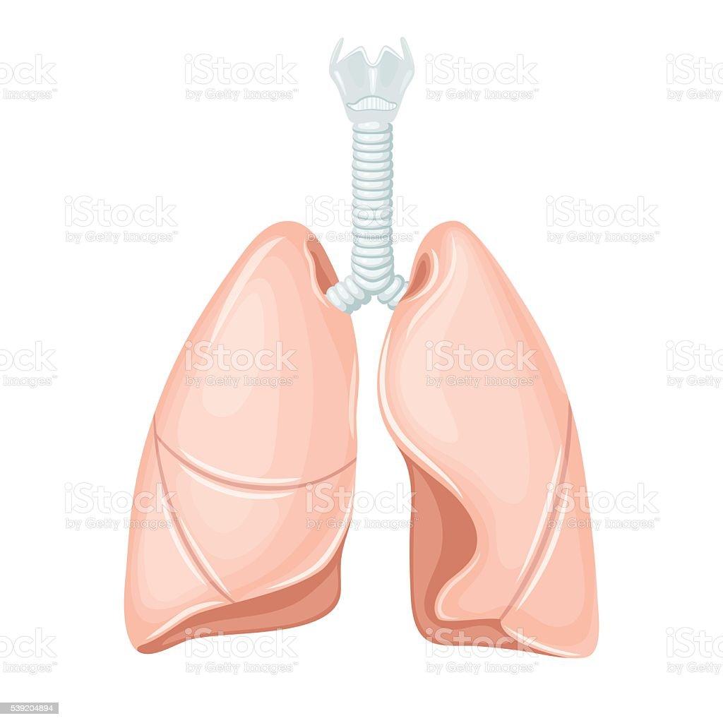Menschliche Lunge Anatomie Vektor Illustration 539204894 | iStock