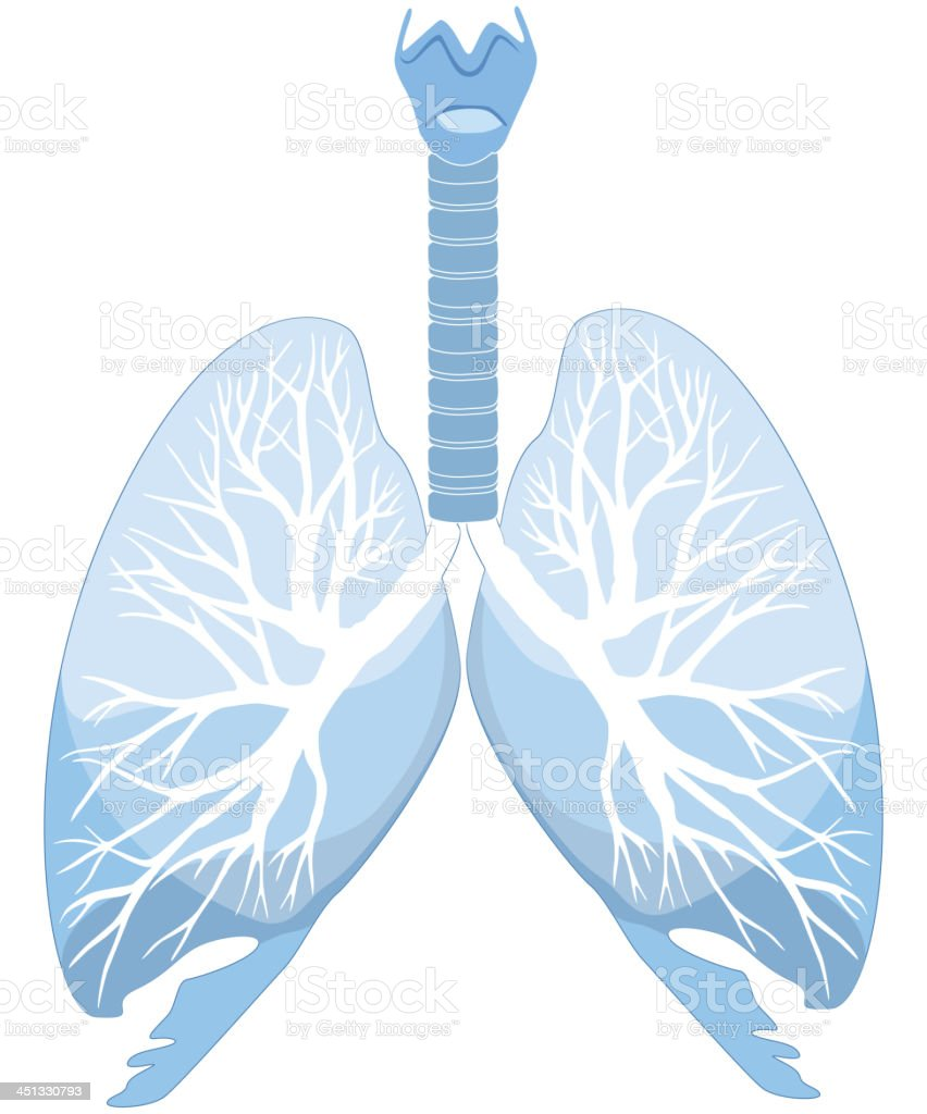 Human lungs and bronchi structure vector art illustration