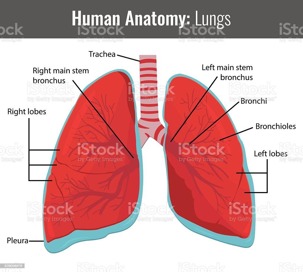 Menschliche Lunge Detaillierte Anatomie Vektor Medizinische Stock ...