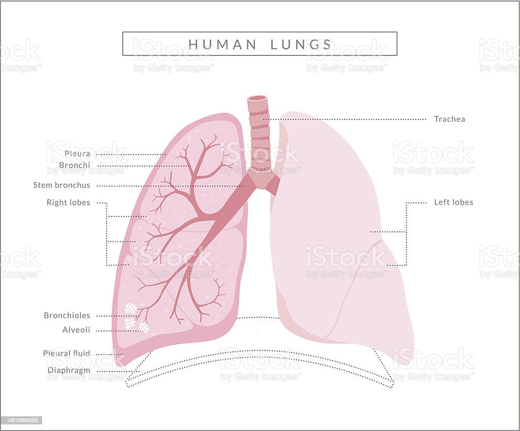 Human Lungs Diagram Stock Vector Art More Images Of Anatomy