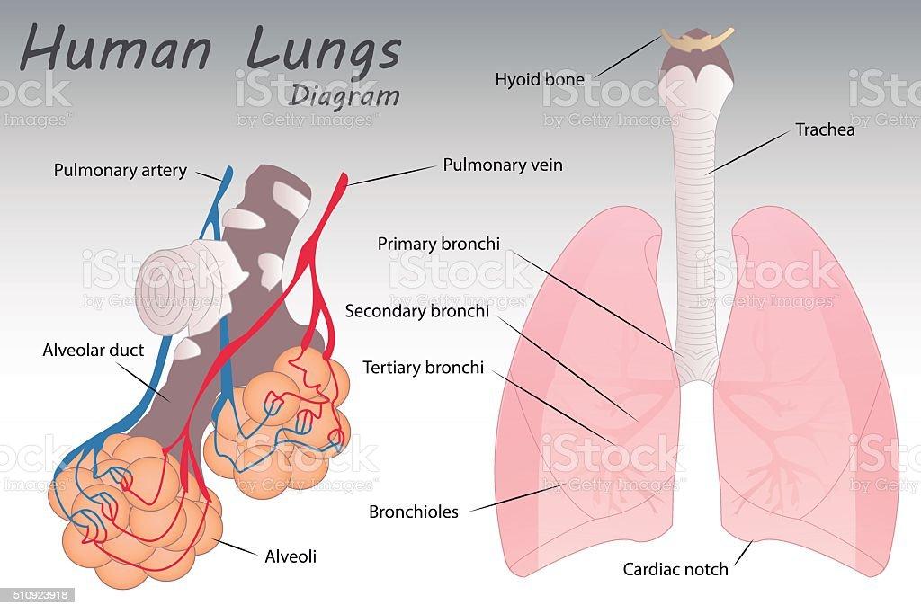 Lujoso Diagrama De La Anatomía De Cricket Festooning - Imágenes de ...