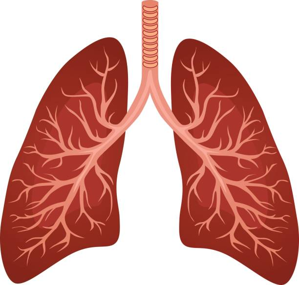 Human lungs organ Human lungs organ isolated on white background representing the medical respiratory system to provide oxygen to the body vector eps 10 human lung stock illustrations
