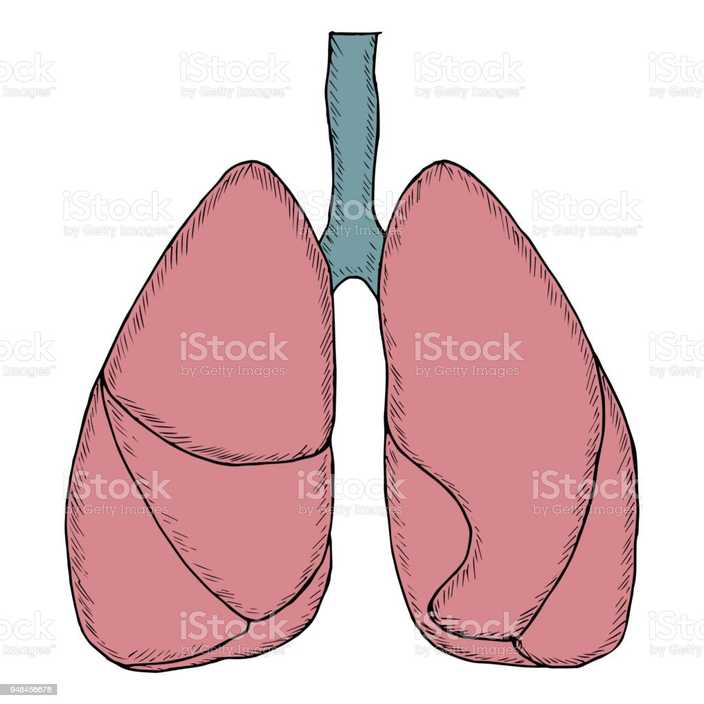 Human Lungs Sketch In Color Stock Vector Art More Images Of