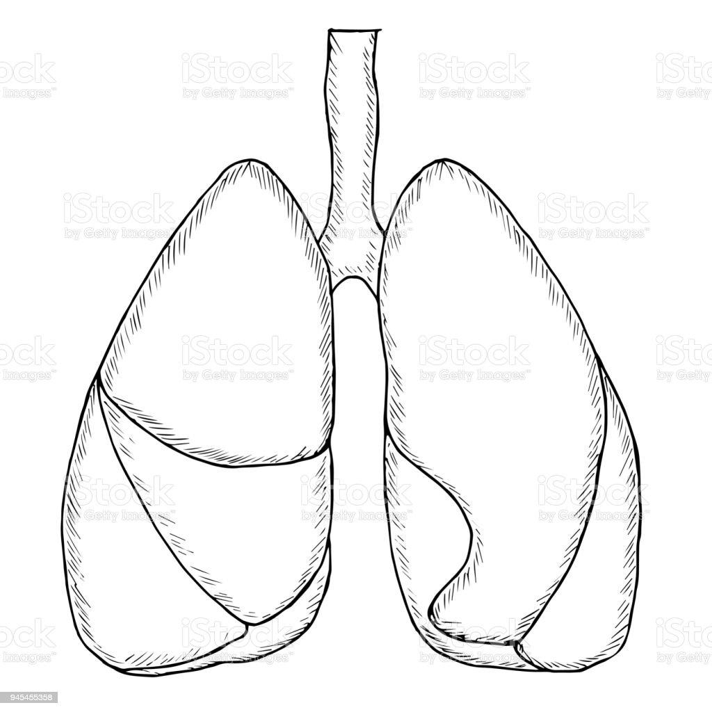 Menschliche Lunge Skizzieren Stock Vektor Art und mehr Bilder von ...