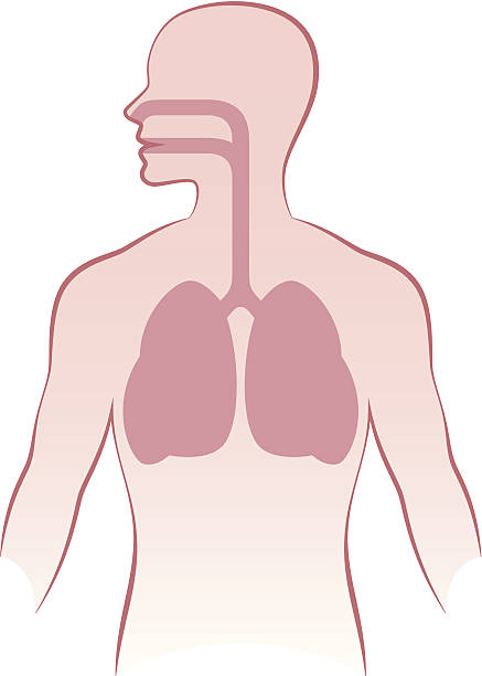 Human lungs Human lungs on a white background smoke inhalation stock illustrations