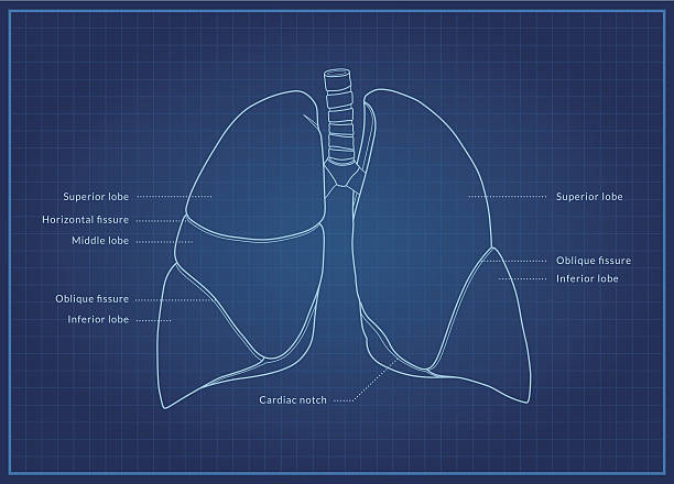 Human Lungs A medical diagram showing the lobes of the lungs (organ of the respiratory system) with text labels. human lung stock illustrations