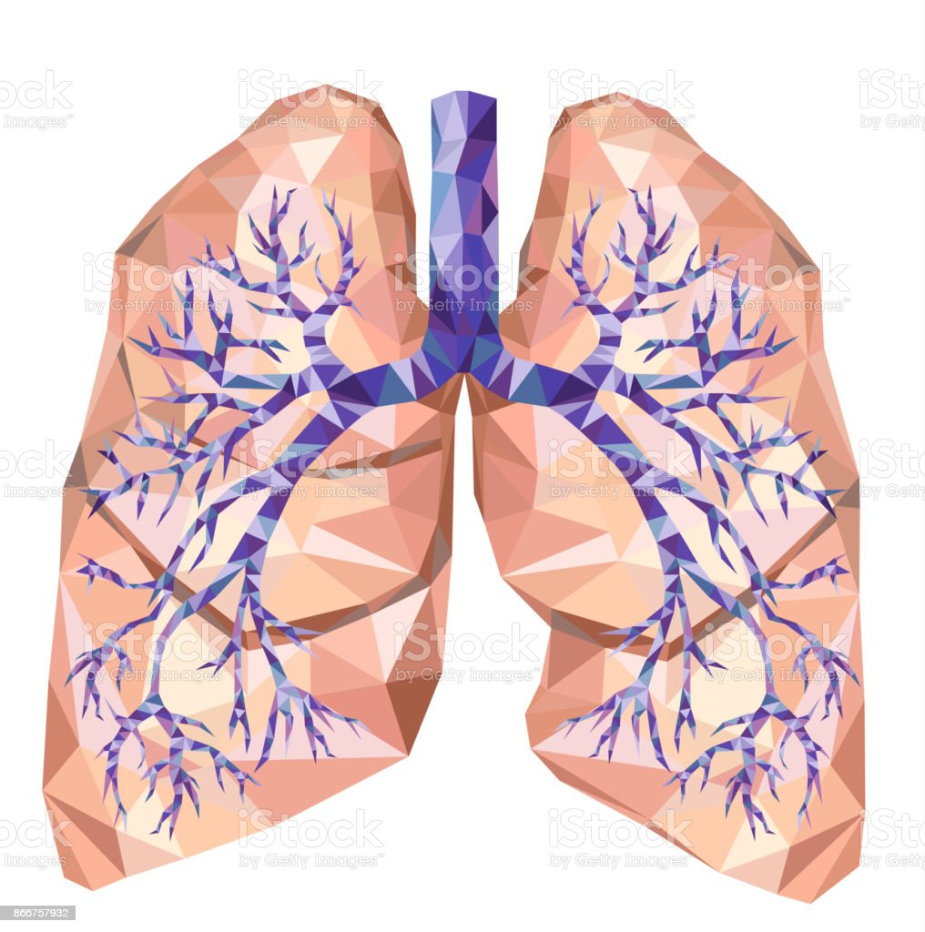 Human Lungs With Trachea Bronchus Bronchi Carina In Low Poly Vector ...
