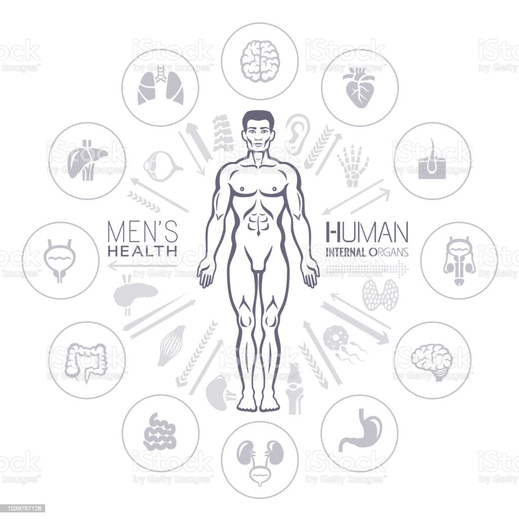 Human Male Body And Internal Organs Stock Vector Art & More Images ...