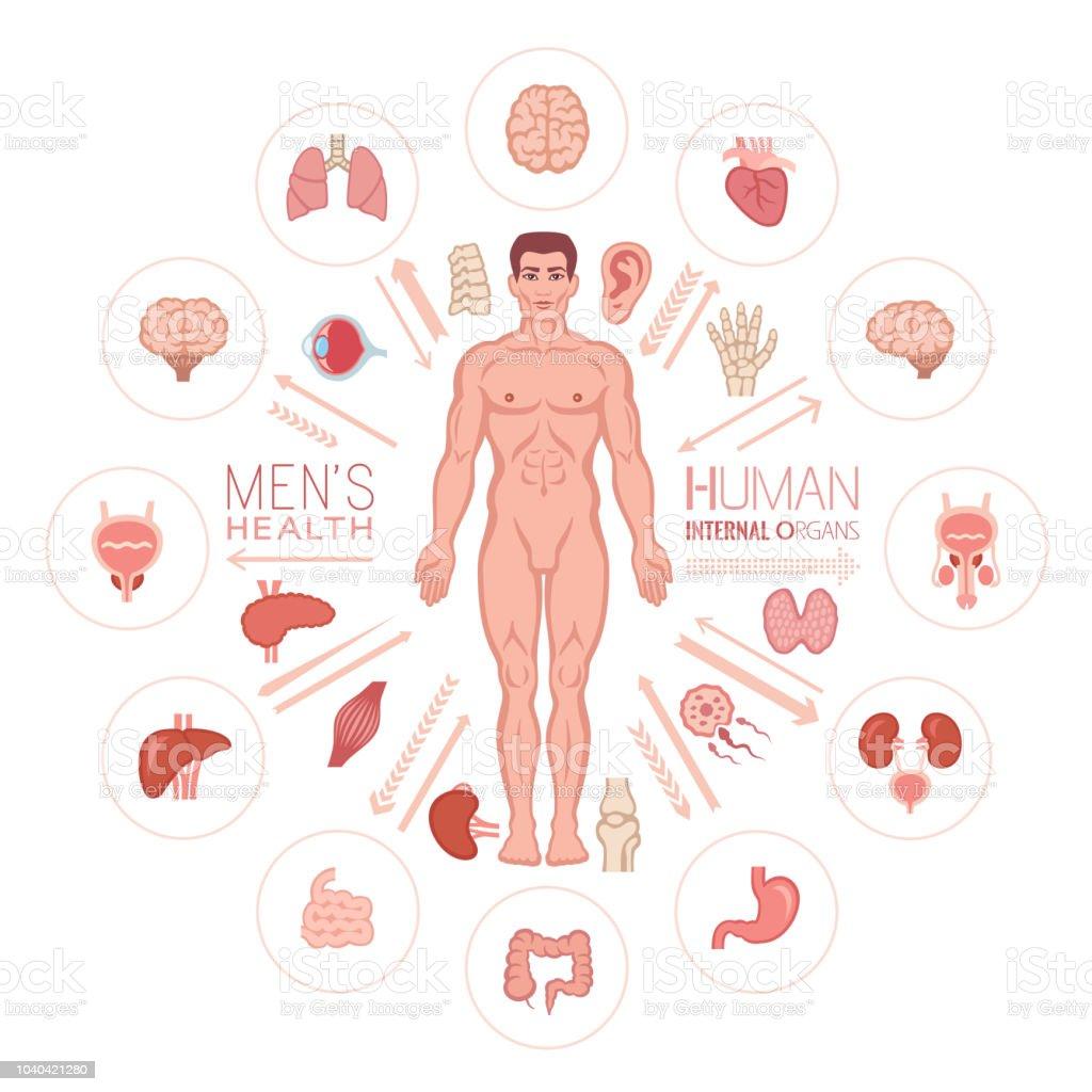 Ilustración de Cuerpo Humano Masculino Y Los órganos Internos y más ...