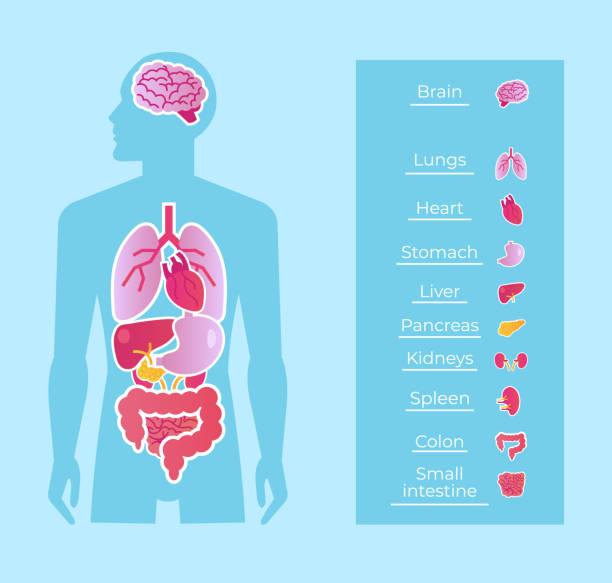 illustrazioni stock, clip art, cartoni animati e icone di tendenza di uomo umano persone anatomia organi interni sistema banner poster schema. concetto di educazione alla medicina. illustrazione grafica isolata cartone animato piatto vettoriale - il corpo umano