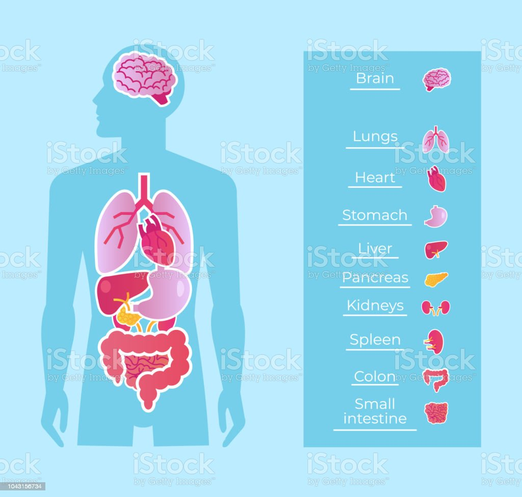 Human man people anatomy internal organs system banner poster scheme. Medicine education concept. Vector flat cartoon isolated graphic design illustration vector art illustration