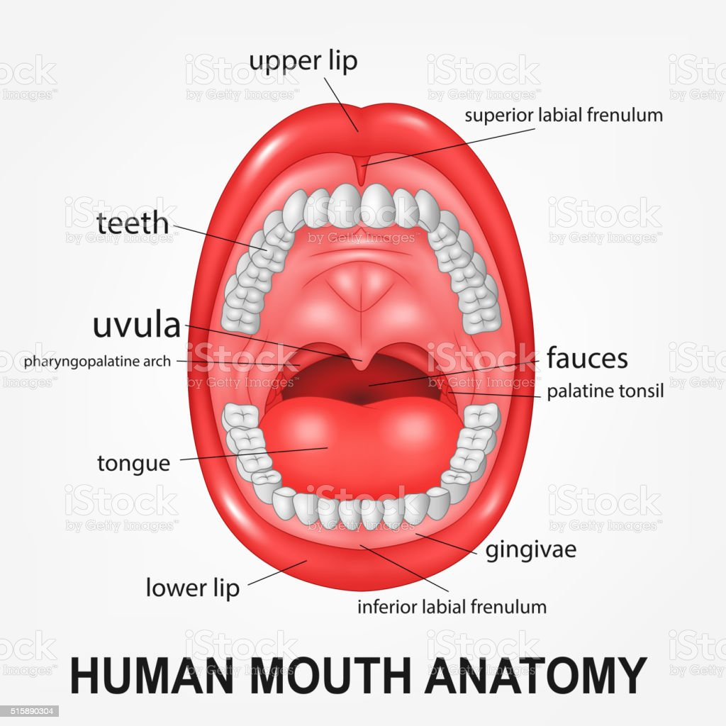 Human mouth anatomy, open mouth with explaining vector art illustration