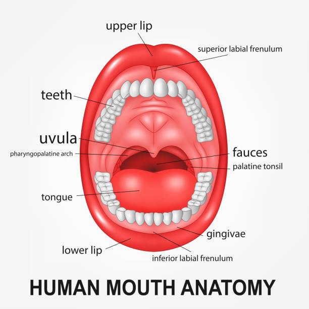 Menschlicher Mund Vektorgrafiken und Illustrationen - iStock