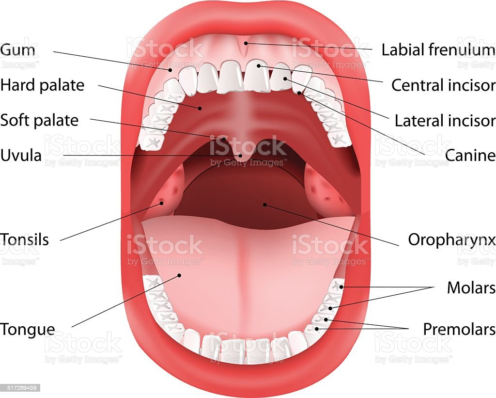 Human Mouth anatomy vector art illustration