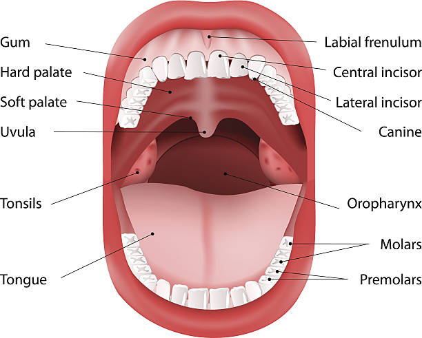 Royalty Free Tonsils Clip Art, Vector Images & Illustrations - iStock