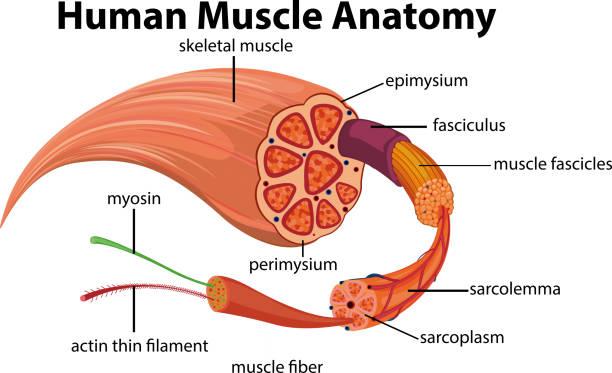 Human Muscle Anatomy Diagram Human Muscle Anatomy Diagram illustration human muscle stock illustrations