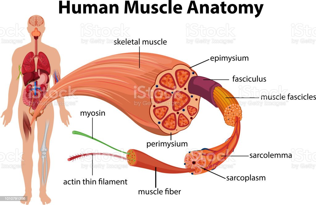 Menschlichen Muskel Anatomie Diagramm Stock Vektor Art und mehr ...