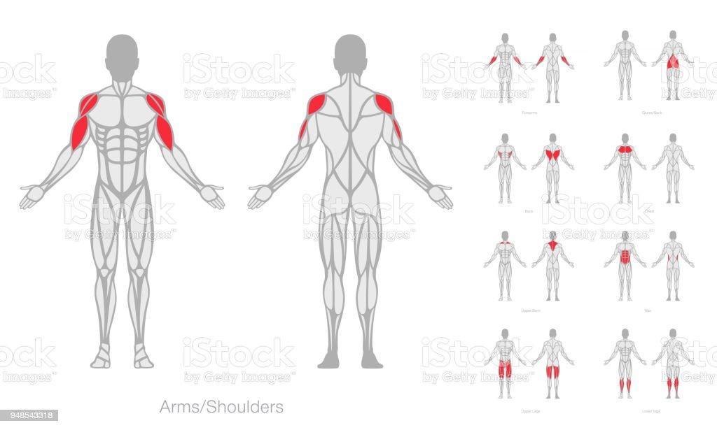 Menschliche Muskeln Anatomie Modell Vektor Stock Vektor Art und mehr ...