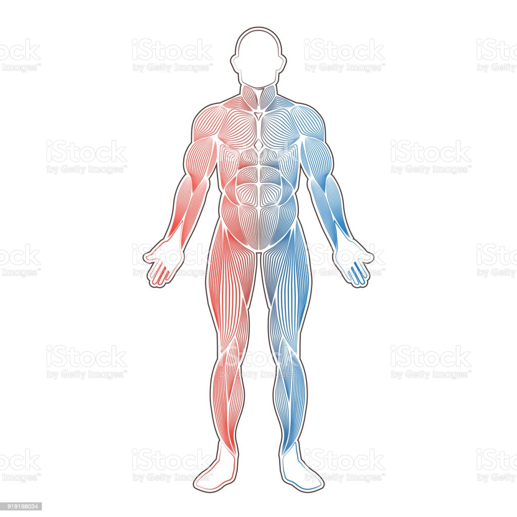 Menschliche Muskeln Zwei Farbe Stock Vektor Art und mehr Bilder von ...