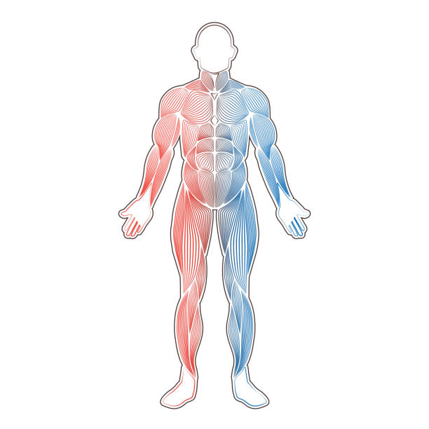 Human muscles two color vector art illustration
