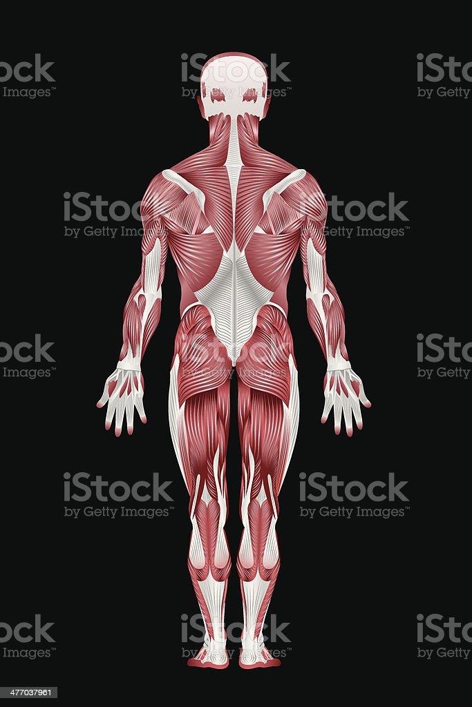 Menschlicher Muskelsystem Zurück Stock Vektor Art und mehr Bilder ...