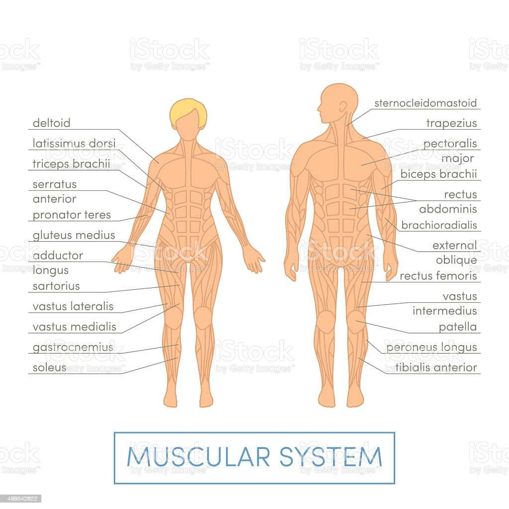 Human muscular system vector art illustration
