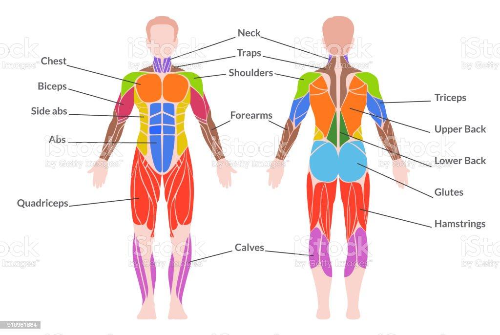 Ilustración de Sistema Muscular Humanos y más banco de imágenes de ...