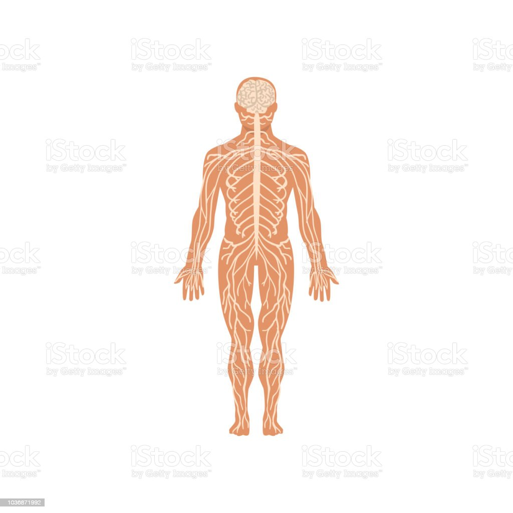 Human Nervous System Anatomy Of Human Body Vector Illustration On A