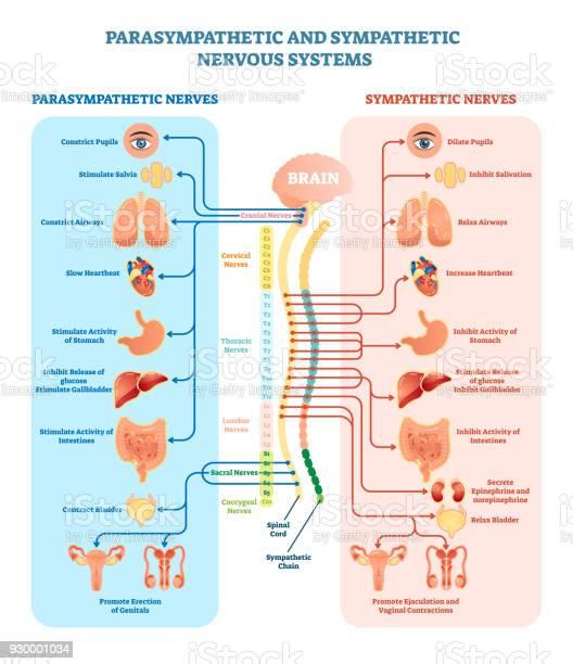 Human nervous system medical vector illustration diagram with and vector id930001034?b=1&k=6&m=930001034&s=612x612&h=5xvqw7 lfs lwxe9 cvfkhpu elbrwwojlpgbzojxbc=