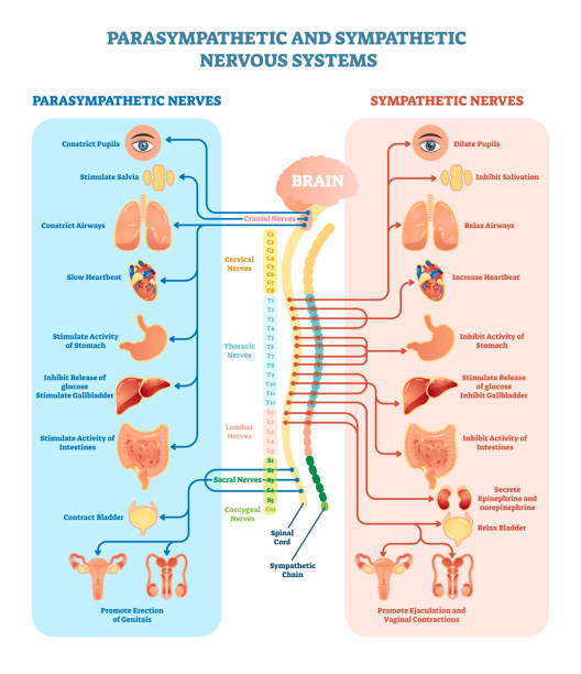 Human nervous system medical vector illustration diagram with parasympathetic and sympathetic nerves and all connected inner organs. Human nervous system medical vector illustration diagram with parasympathetic and sympathetic nerves and all connected inner organs through brain and spinal cord. Educational information complete guide. human nervous system stock illustrations