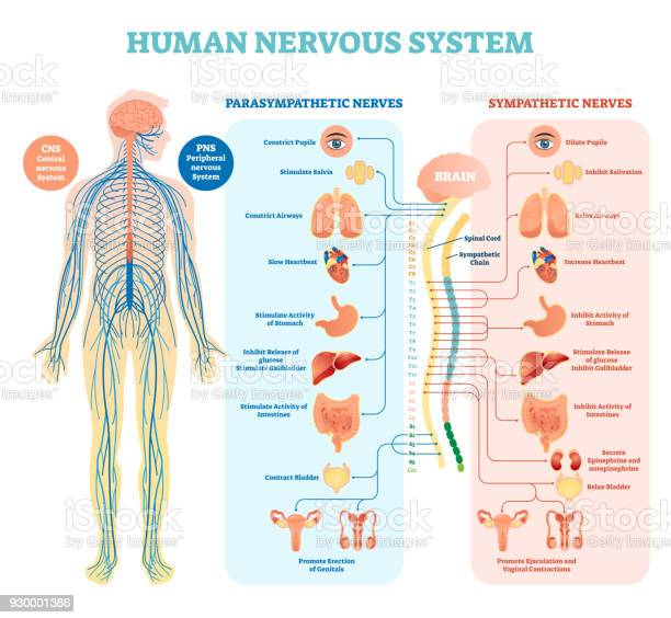 Human nervous system medical vector illustration diagram with and vector id930001386?b=1&k=6&m=930001386&s=612x612&h=niuzyopkttgtbmzygv0of9f4et3bbkpas qtr8qsacu=