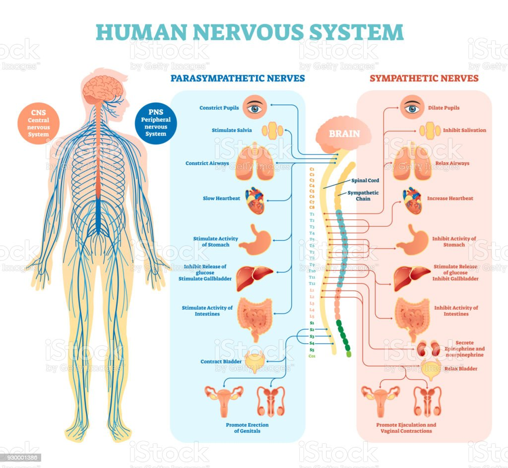 Human nervous system medical vector illustration diagram with parasympathetic and sympathetic nerves and all connected inner organs. vector art illustration