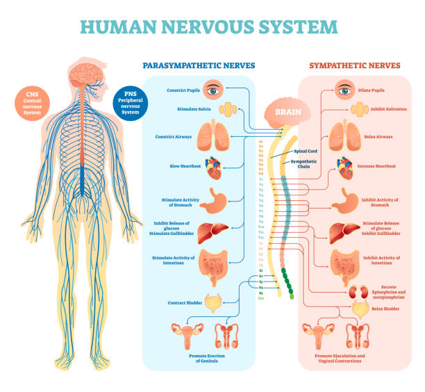 Human nervous system medical vector illustration diagram with parasympathetic and sympathetic nerves and all connected inner organs. Human nervous system medical vector illustration diagram with parasympathetic and sympathetic nerves and all connected inner organs through brain and spinal cord. Educational information complete guide. neurology stock illustrations