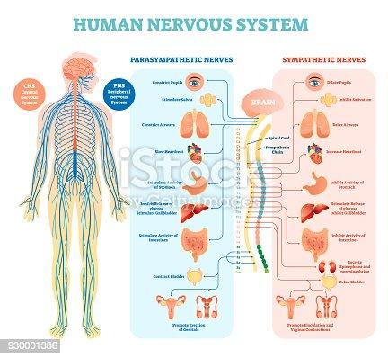 Human Nervous System Medical Vector Illustration Diagram With