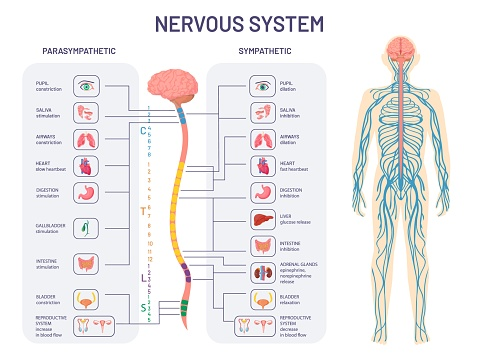 Human nervous system. Sympathetic and parasympathetic nerves anatomy and functions. Spinal cord controls body internal organs vector diagram. Illustration anatomy biology nerve