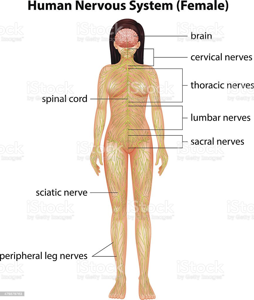 Human Nervous System Stock Vector Art More Images Of Anatomy