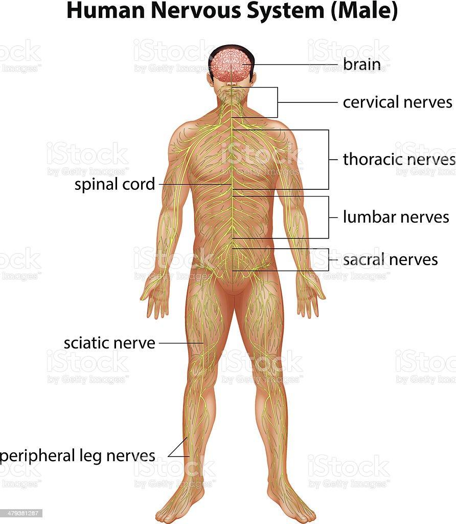Menschliches Nervensystem Stock Vektor Art und mehr Bilder von ...