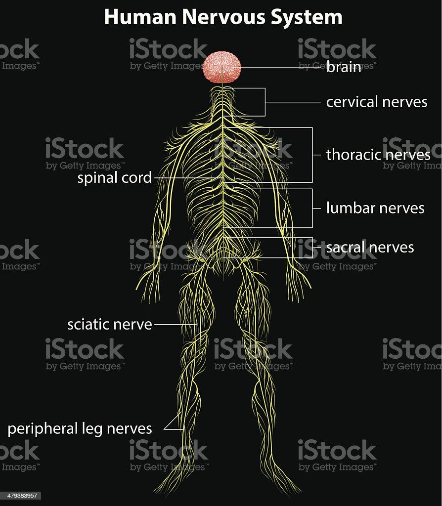 Human nervous system vector art illustration