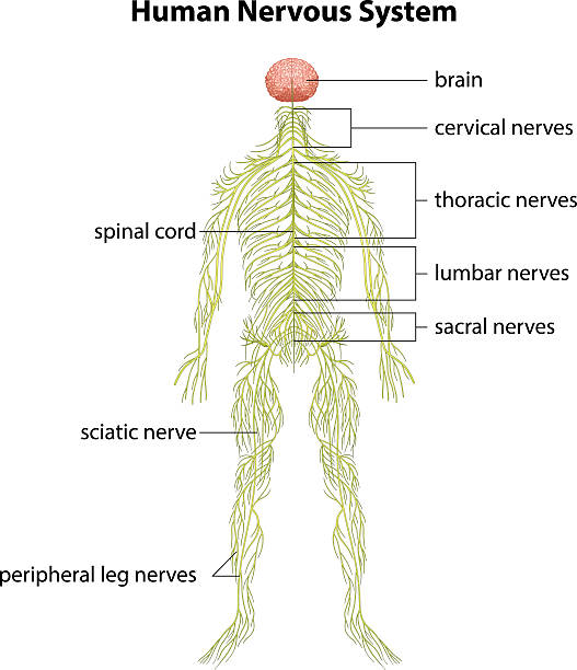 Human nervous system An image showing the human nervous system sciatic nerve stock illustrations